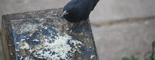 Asian_Koel_eating_cooked_rice_in_Chennai